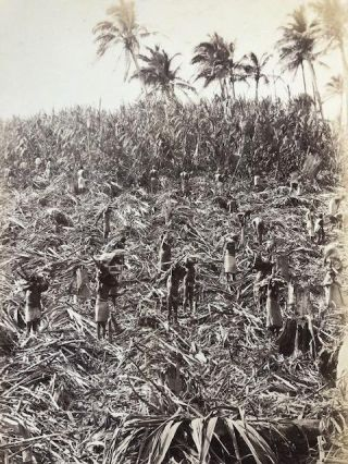 Fijian Sugar Field - Mango - Cutting the Cane. Photograph