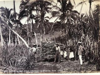 Fijian Sugar Field - Mango - Loading the Cane. Photograph